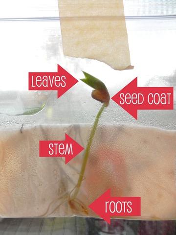 Plastic Bag Bean Sprouts