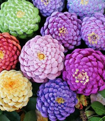 Zinnia Flower Pinecones